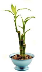 feng shui-bambou